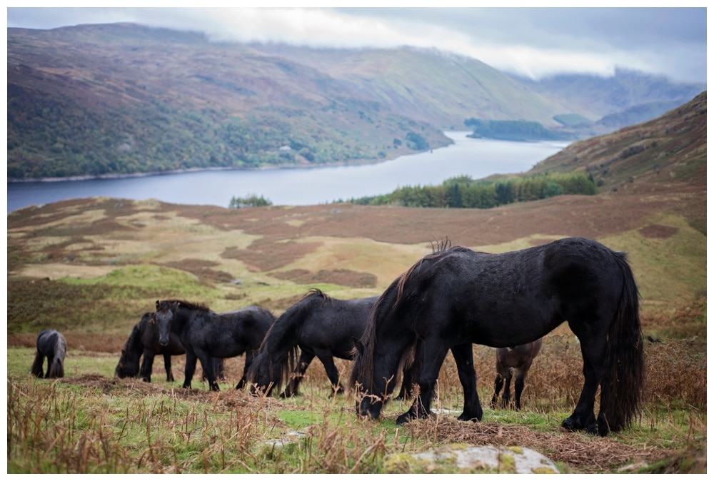 Photographing Lake District's Semi-Feral Fell Ponies