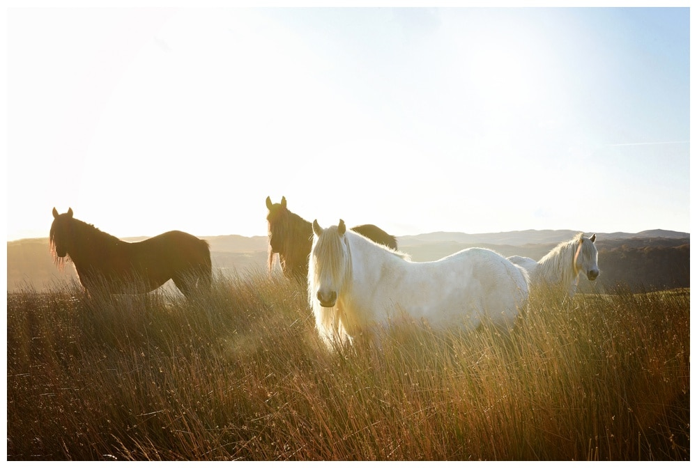 Lake district fell pony