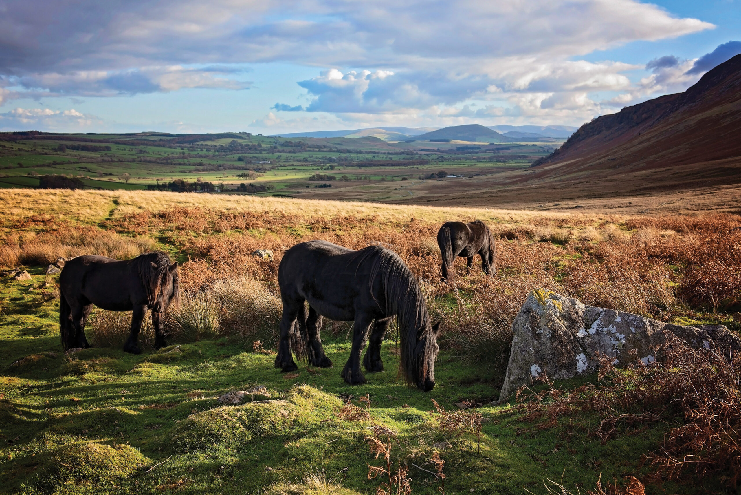 North Lakes Fell Ponies