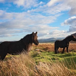 North Lakes Fell Ponies
