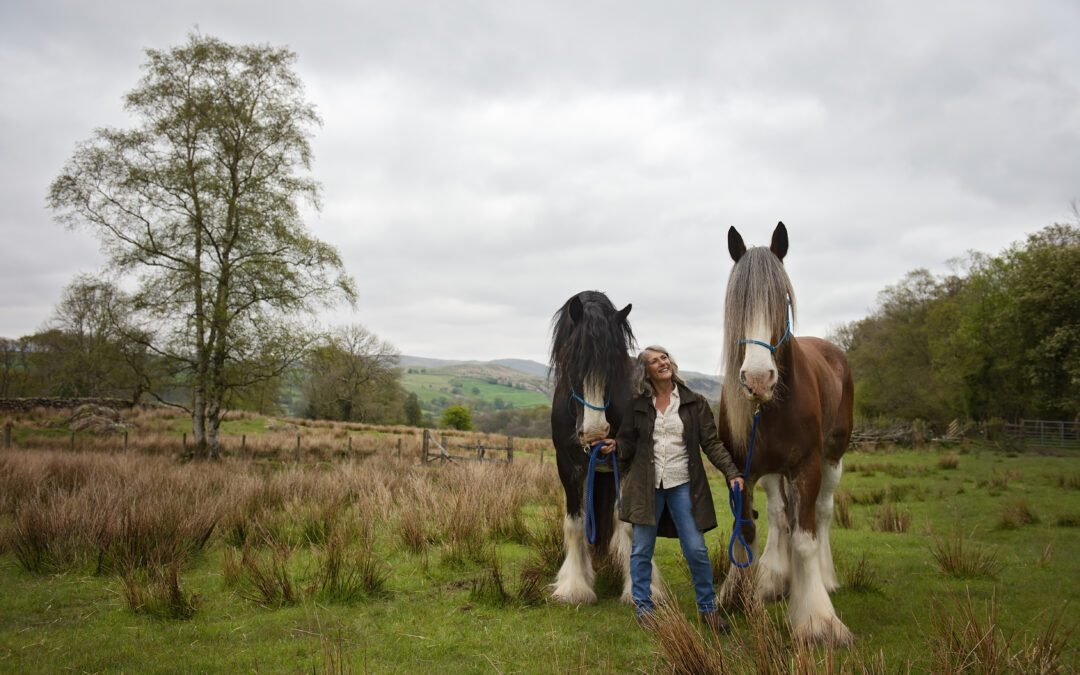4 Clydesdales in a blue bell wood!